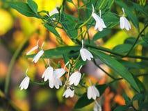 Petites fleurs blanches de nasutus de Rhinacanthus, fleur de grue ou jasmin blanc de serpent, fleurissant simple et accrocher sur photos libres de droits