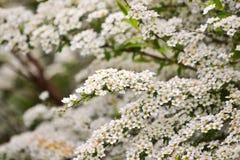 Petites fleurs blanches en grande quantité sur un buisson photo stock