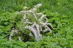Petites fleurs blanches en grande quantité sur un buisson images stock