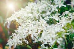 Petites fleurs blanches, lumière du soleil Beau contexte d'été photo libre de droits