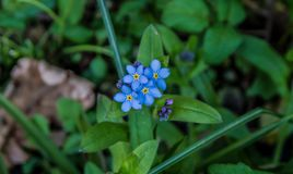 Petites fleurs bleu-clair Photo libre de droits