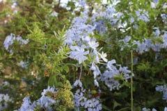 Petites fleurs bleu-clair Images libres de droits