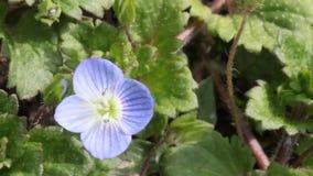 Petites fleurs bleues clips vidéos