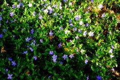 Petites fleurs bleues Images stock