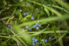 Petites fleurs bleues Photo stock