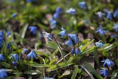 Petites fleurs bleues dans la pelouse en premier ressort Images stock