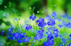Petites fleurs bleues dans le jardin Beau fond d'été images stock