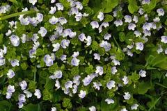 Petites fleurs bleues parmi l'herbe Images stock