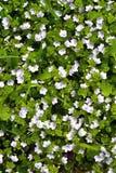 Petites fleurs bleues parmi l'herbe Photographie stock