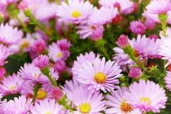 Petites fleurs d'Astra de jardin images stock