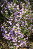 Petites fleurs d'Astra de jardin image libre de droits
