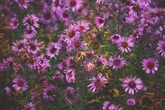 Petites fleurs d'Astra de jardin photos stock