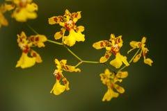 Petites fleurs d'orchidée jaune en parc, Colombie Photos libres de droits