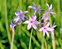Petites fleurs de couleur rose lumineuse Photographie stock libre de droits