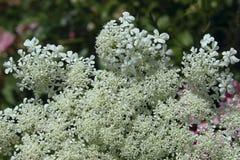 Petites fleurs de floraison blanches photographie stock libre de droits