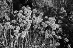 Petites fleurs en noir et blanc Photo stock