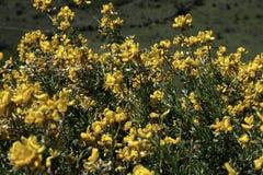 Petites fleurs jaunes dans la montagne photographie stock