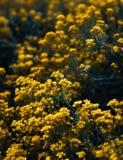 Petites fleurs jaunes de temps de saxatilis d'aurinia au printemps Photo stock