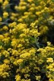 Petites fleurs jaunes de temps de saxatilis d'aurinia au printemps Photographie stock libre de droits
