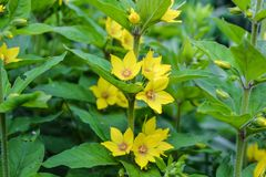 Petites fleurs jaunes pendant la période d'été de jardin photographie stock libre de droits