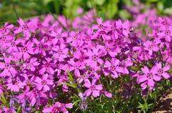 Petites fleurs pourprées Image libre de droits