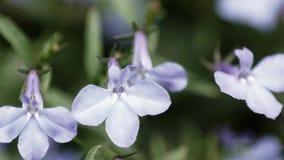 Petites fleurs pourprées clips vidéos