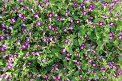 Petites fleurs pourprées Photographie stock