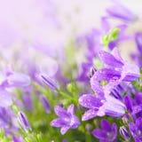 Petites fleurs pourprées de campanula Images libres de droits