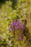 Petites fleurs pourprées sauvages Photo stock