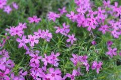 Petites fleurs pourpres appréciant le jour images stock