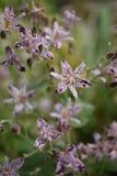 Petites fleurs pourpres et blanches de lis tigré de crapaud Photos stock