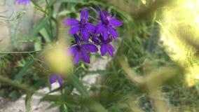 Petites fleurs pourpres sensibles banque de vidéos