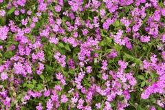 Petites fleurs roses de fond de fines herbes naturel Image stock