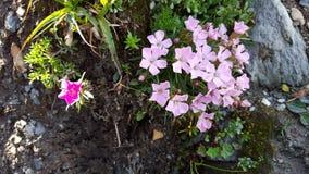 Petites fleurs roses de montagne sur une roche Image libre de droits