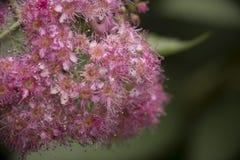 Petites fleurs rouges après pluie Photo stock