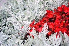 Petites fleurs rouges parmi les branches blanches des usines photo stock