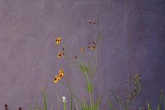 Petites fleurs sauvages jaunes contre le mur de stuc Photo libre de droits