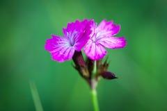 petites fleurs sauvages roses sur le pré vert photo stock - image