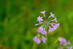 Petites fleurs violettes Images libres de droits