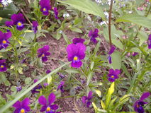 Petites Jacinthe en-fleur Stockfoto
