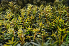 Petites jeunes plantes de conifère photos libres de droits