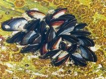 Petites moules méditerranéennes 2 image libre de droits