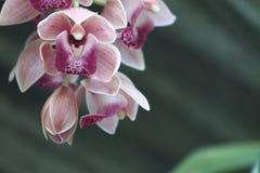 Petites orchidées roses photo libre de droits