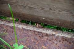 Petites peaux de grenouille entre le bloc et le faisceau image libre de droits