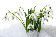Petites perce-neiges dans la neige Photographie stock libre de droits