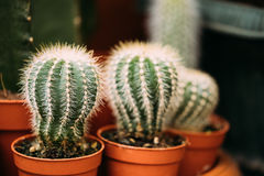 Petites petites usines de cactus de cactus dans des pots sur le marché de magasin Photographie stock