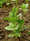 Petites plantes de haricot Photos libres de droits