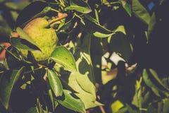 Petites poires sur la branche Image stock