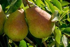 Petites poires sur la branche Photos stock
