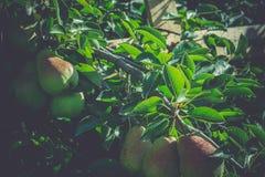 Petites poires sur la branche Photographie stock